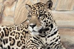 Ягуары