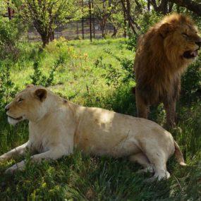 О родившей в саванне львице, а также Сэме, Герде и Дане