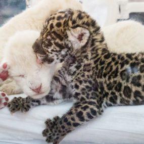 Белые львята и малыш ягуар — пресс-конференция Олега Зубкова.